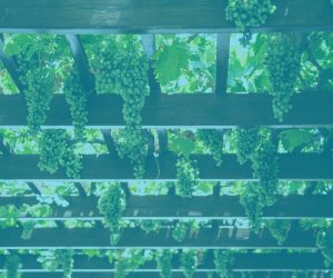 Bunches of grapes growing overhead in a wooden arbor