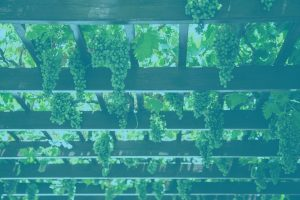 Bunches of grapes growing overhead inside a wooden arbor